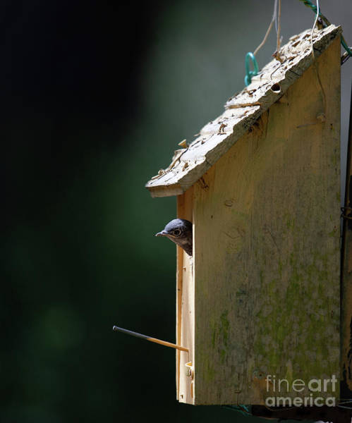 Photograph - Baby Blue Bird - Looking For Breakfast by Dale Powell