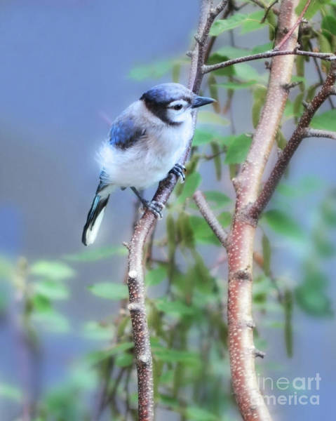 Wall Art - Photograph - Baby Bluejay  by Elaine Manley