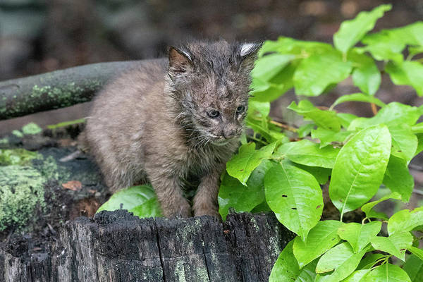 Photograph - Baby Bobcat On Stump In The Woods by Dan Friend