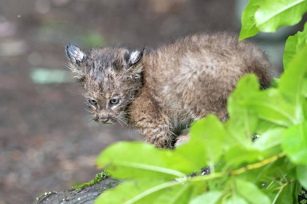 Photograph - Baby Bobcat With The Stare by Dan Friend