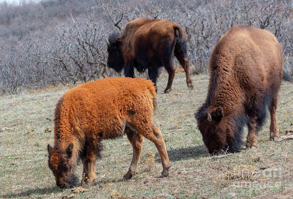 Photograph - Baby Buffalo by Steve Krull