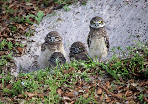 Photograph - Baby Burrowing Owls Posing by Rosalie Scanlon