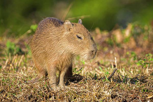 Photograph - Baby Chiguiro Capybara Hato Berlin Casanare Colombia by Adam Rainoff