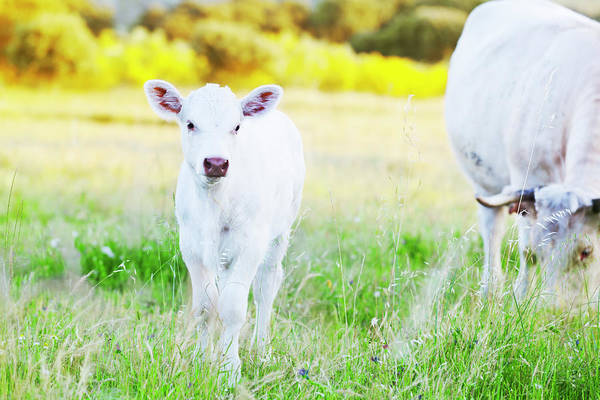 Cow Photograph - Baby Cow by Fernandoah