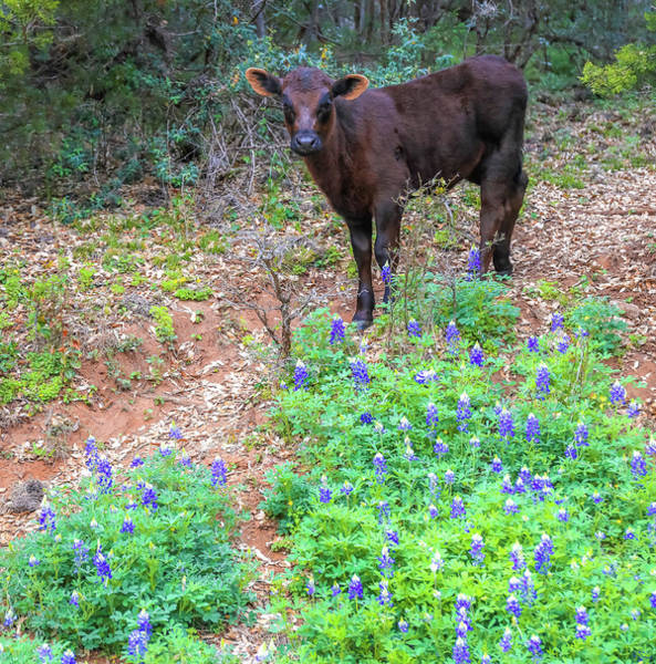 Photograph - Baby Cow In Texas Bluebonnets by Dan Sproul