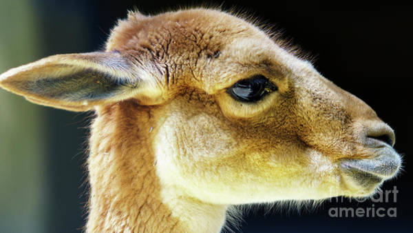 Photograph - Baby Deer Close Up by Pablo Avanzini