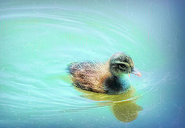 Photograph - Baby Duck by Bonnie Willis