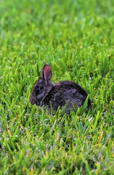 Sylvilagus Floridanus Photograph - Baby Easter Bunny by William Tasker