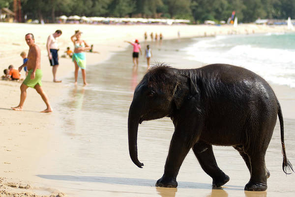 Bikini Photograph - Baby Elephant On Beach At Ao Bang Thao by Lonely Planet