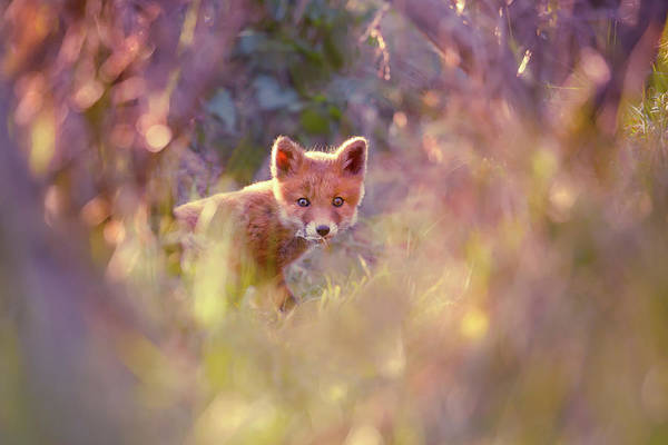 Cute Overload Photograph - Baby Fox In A Fairytale Forest by Roeselien Raimond
