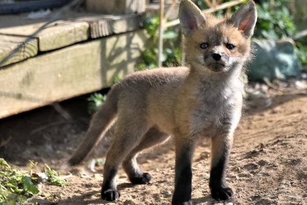 Photograph - Baby Fox by Kim Bemis