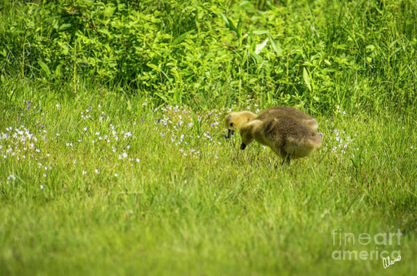 Photograph - Baby Geese by Alana Ranney