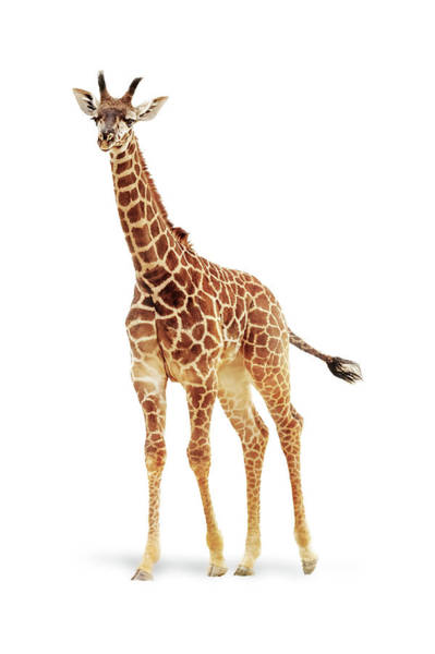 Wall Art - Photograph - Baby Giraffe Named Moshi by Susan Schmitz