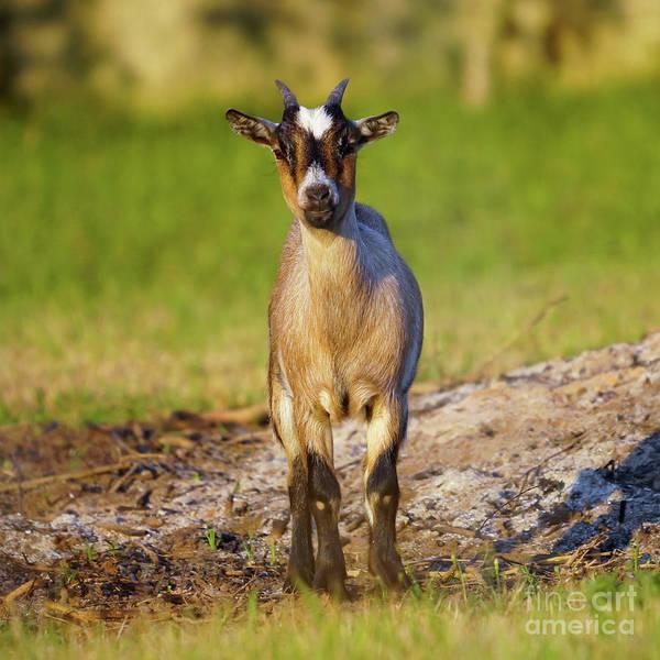 Photograph - Baby Goat Staring At Sunset by Pablo Avanzini