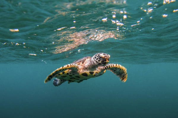 Hawksbill Turtle Photograph - Baby Hawksbill Sea Turtle Swims With by Sirachai Arunrugstichai