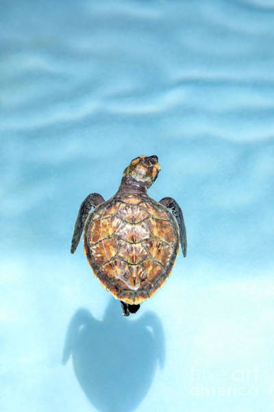 Wall Art - Photograph - Baby Hawksbill Turtle by Julia Hiebaum