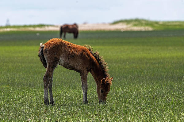 Photograph - Baby Horse Eating Marsh Grass by Dan Friend