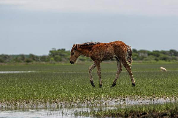 Photograph - Baby Horse Walking Across Marsh by Dan Friend