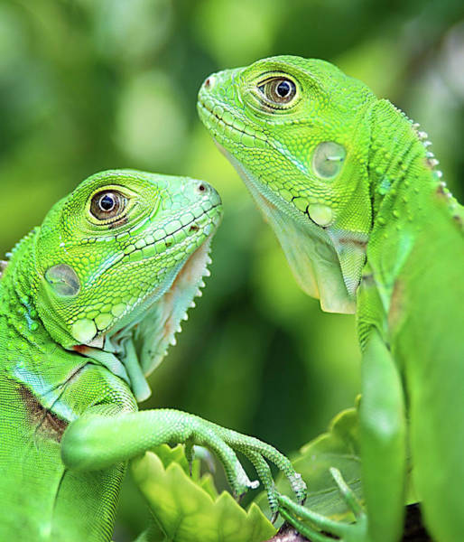 Wall Art - Photograph - Baby Iguanas by Patti Sullivan Schmidt