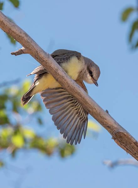 Photograph - Baby Kingbird Stretch by Loree Johnson