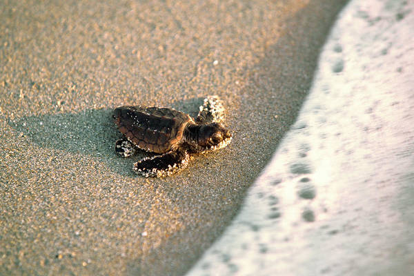 Waters Edge Photograph - Baby Loggerhead Sea Turtle  Caretta by Mark J. Thomas