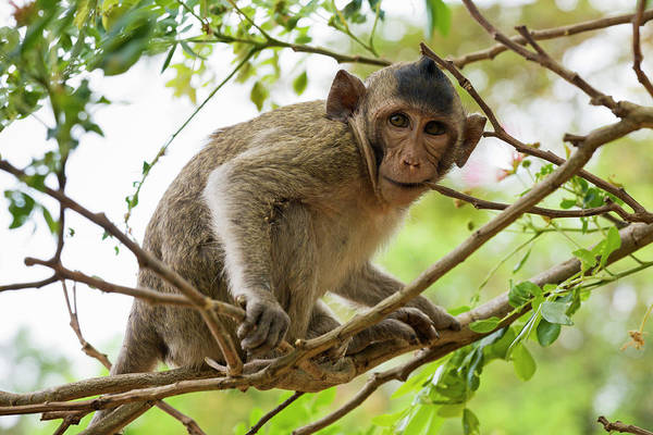 Long Tail Photograph - Baby Long Tailed Macaque Macaca by Anders Blomqvist