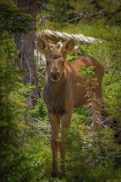 Photograph - Baby Moose In The Afternoon Forest by Gary Kochel