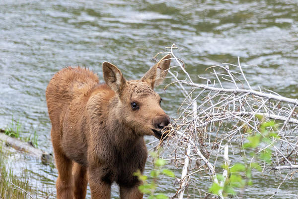 Photograph - Baby Moose by Michael Chatt