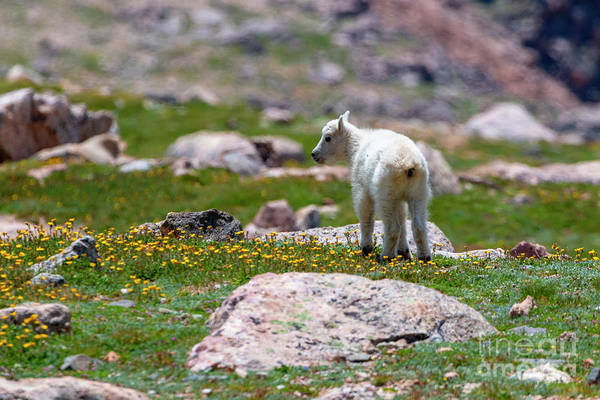 Photograph - Baby Mountain Goat And Wildflowers by Steve Krull