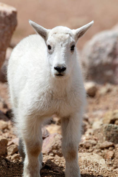 Photograph - Baby Mountain Goat by Steve Krull