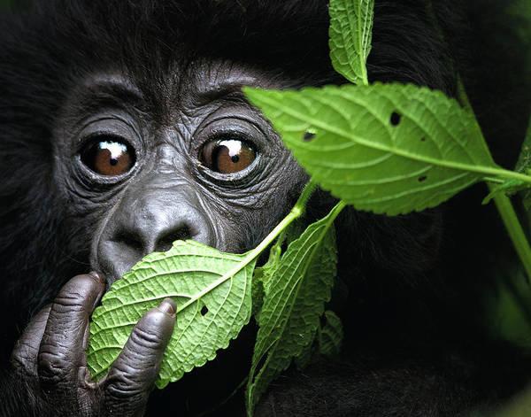 Rwanda Photograph - Baby Mountain Gorilla, North West Rwanda by David Yarrow Photography