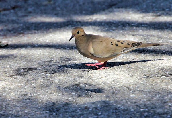 Photograph - Baby Mourning Dove by Rosalie Scanlon