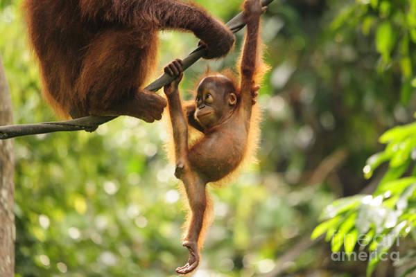Wall Art - Photograph - Baby Orangutan Playing by Wayneimage