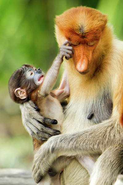 Leaf Monkey Wall Art - Photograph - Baby Proboscis Monkey With Mother by Rebecca Yale