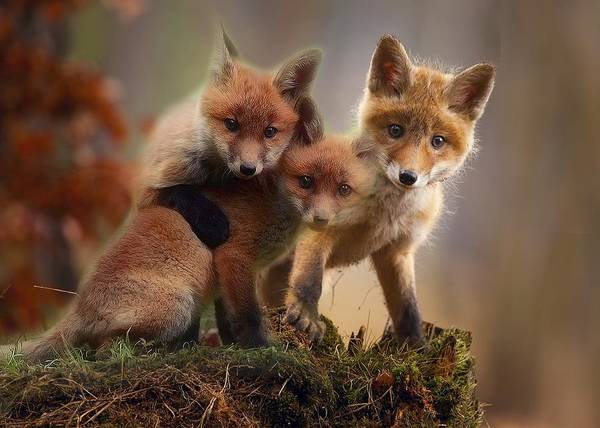 Photograph - Baby Red Foxes by Fox Art and Photography