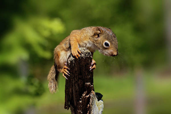 Wall Art - Photograph - Baby Red Squirrel, Tamiasciurus by Adam Jones