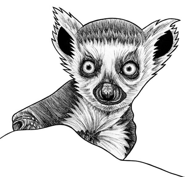Ring-tailed Wall Art - Drawing - Baby Ring Tailed Lemur - Ink Illustration by Loren Dowding
