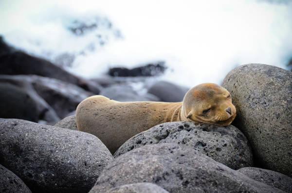 North Seymour Island Photograph - Baby Sea Lion Sleeping On The Rocks by Volanthevist