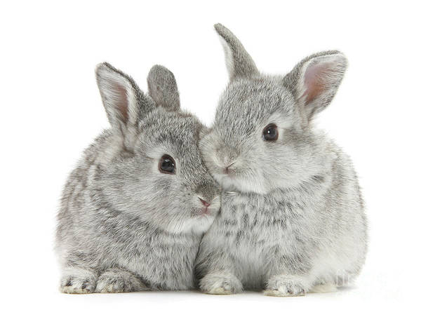 Photograph - Baby Silver Bunnies by Warren Photographic