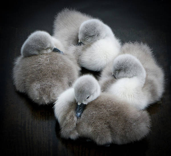 Beginnings Photograph - Baby Swans by Roverguybm