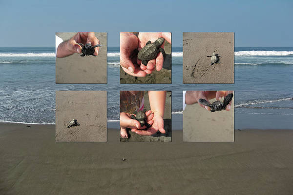 Photograph - Releasing Baby Turtles Into Water - Collage by Tatiana Travelways