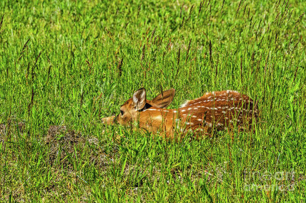 Photograph - Baby White-tail Deer Trying To Be Invisible by Sue Smith