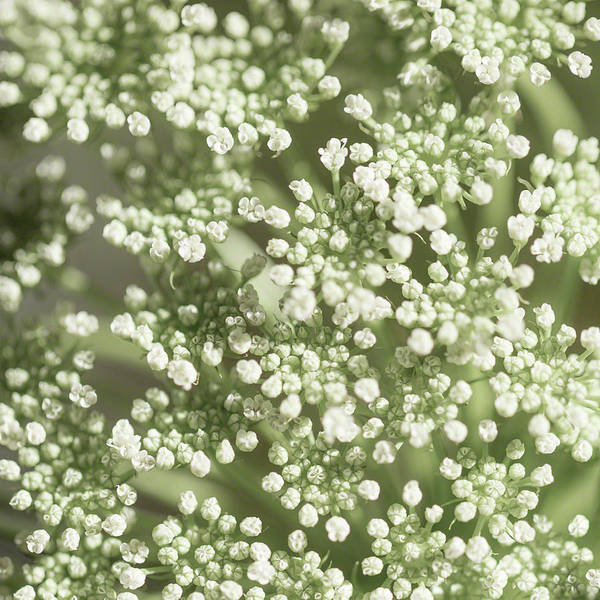 Photograph - Babys Breath 1308 by Mark Shoolery