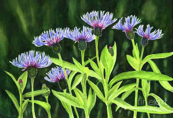 Wall Art - Painting - Bachelor Button Flowers With Dark Background by Sharon Freeman