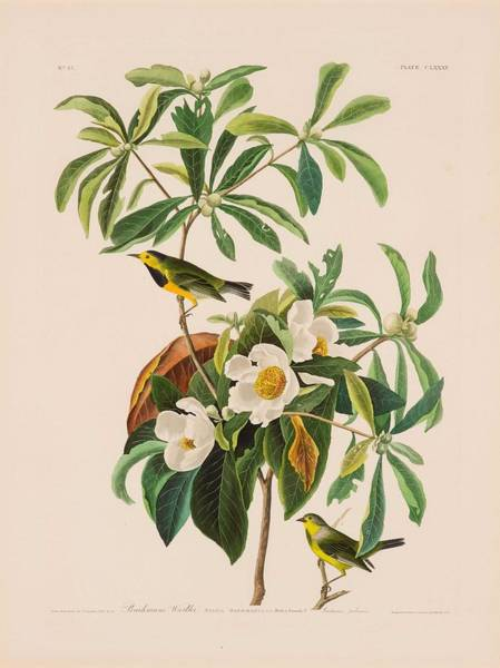 Wall Art - Painting - Bachman S Warbler By John James Audubon, 1785 - 1851 by John James Audubon