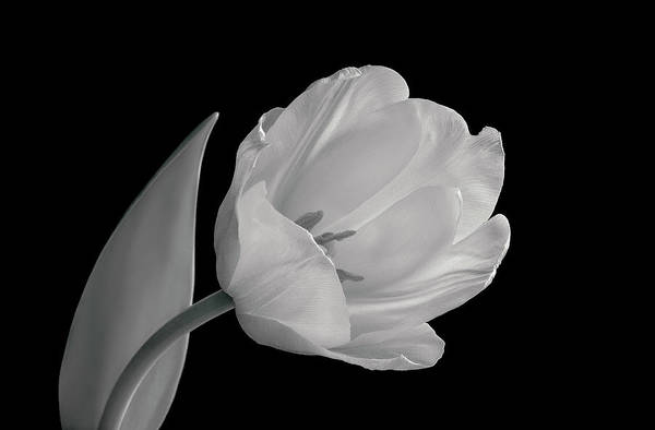 Black Friday Wall Art - Photograph - Back And White Image Of Tulip by Russell Illig