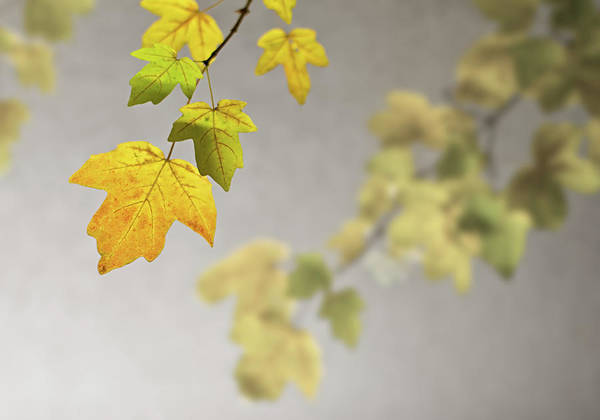 Stucco Wall Art - Photograph - Back Lighted Autumn Maple Leaves by Royce Bair