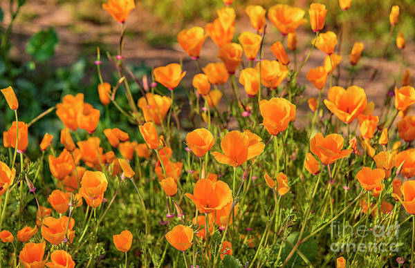 Photograph - Back Lit Poppies by Mae Wertz