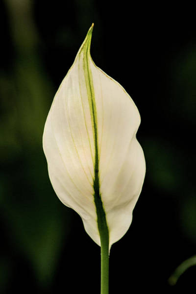 Photograph - Back Of Anthurium by Don Johnson