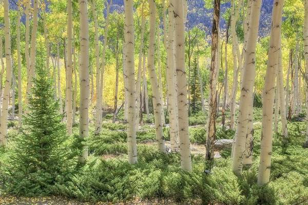 Wall Art - Photograph - Backlit Aspen Stand by Donna Kennedy